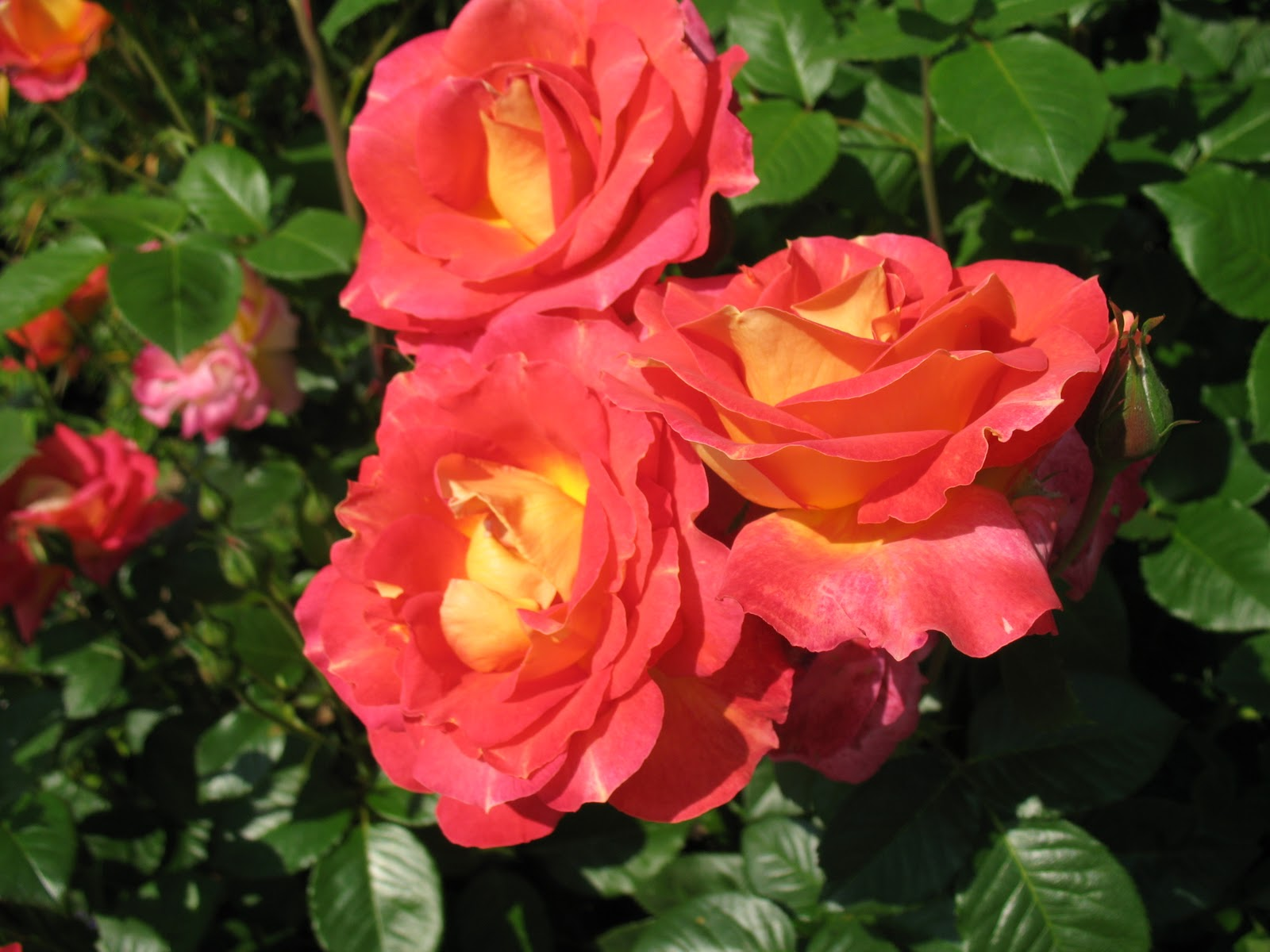 Roses du jardin ch neland taille des rosiers - Taille rosier liane ...