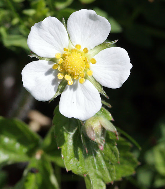 Wild strawberry flower, Fragaria vesca, in High Elms Country Park. 4 May 2011. Taken with a Canon EOS 450D and EF 100mm macro lens, hand held.