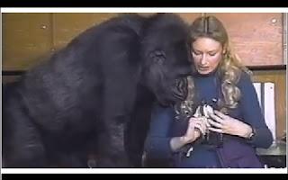 A gorila Koko, que se tornou famosa no mundo todo por tentar usar uma linguagem de sinais para se comunicar com seus cuidadores, pode estar perto de outra façanha: de acordo com os pesquisadores, ela estaria tentando falar.