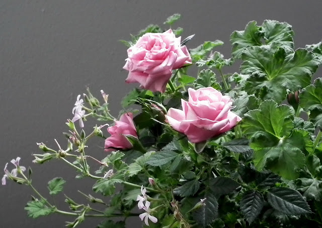 pink mini-roses and nutmeg scented pelargonium
