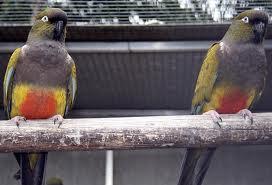 Burung Conures