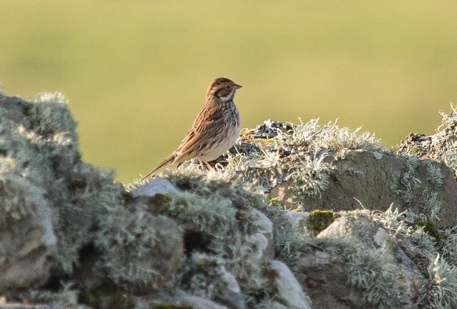 The Deskbound Birder: Shetland and Fair Isle 8th-15th October