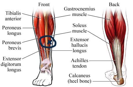 crossfit day 256 shin and calf pain 5 22 13 alicia crossfit rh aliciacrossfit com calf cramp diagram calf tendon diagram