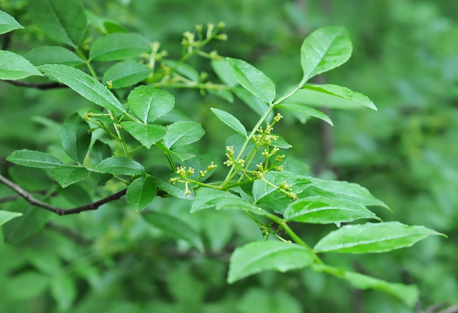 Benefits Of Prickly Ash (Zanthoxylum Americanum) For Health