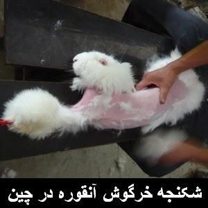 حقیقت وحشتناک صنعت پشم خرگوش آنقوره در چین