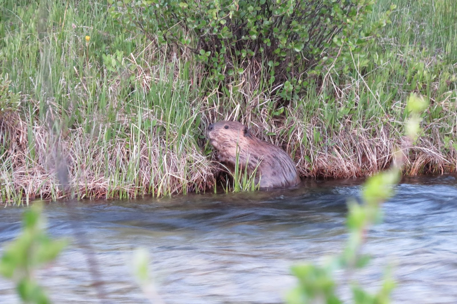 Fishhook Creek Beaver in Stanley, Idaho
