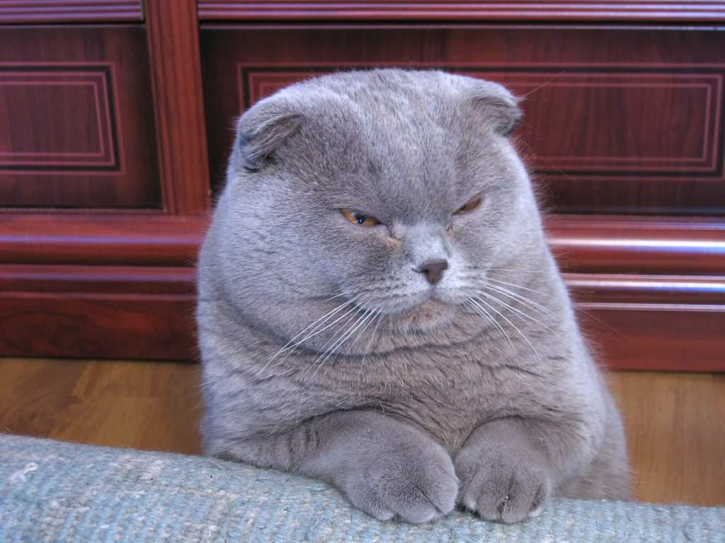 Scottish Fold – Cat Breed | Fun Animals Wiki, Videos ...