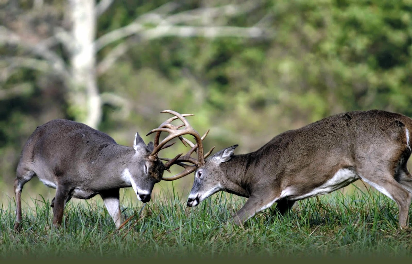 Pictures of whitetail bucks fighting How to identify white-tailed deer tracks and signs
