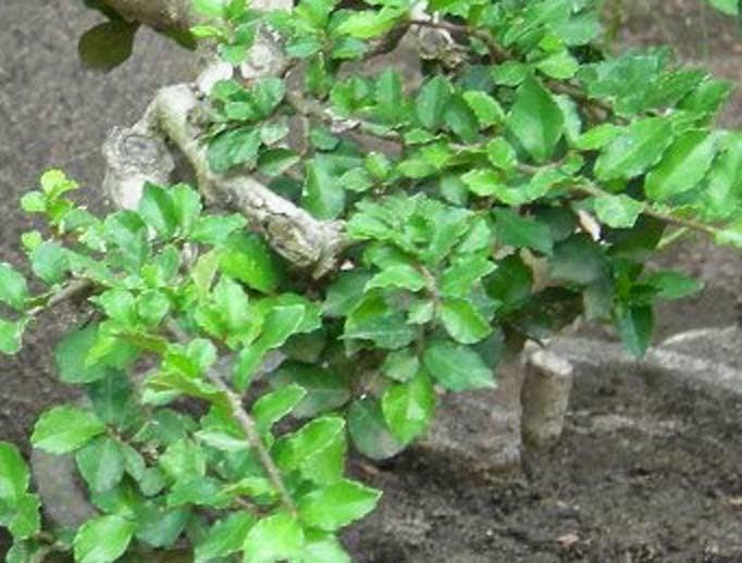 Jual pohon serut | suplier tanaman | tanaman hias | tanaman bonsai | jasa desain taman