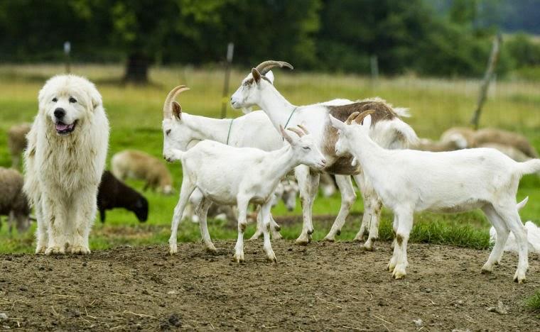 goat farm essay contest alabama a&m