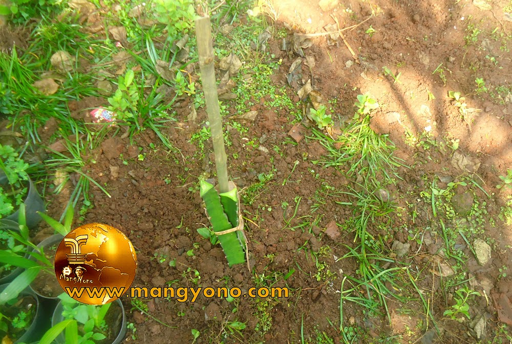 FOTO  5 : Pengikatan stek pohon naga pada ajir