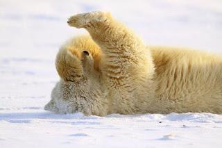 PolarBearFacepalm-86079.jpg