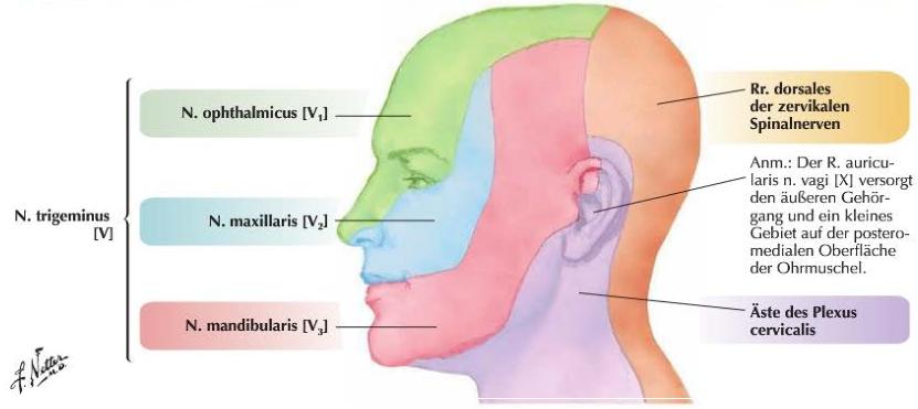 s u00fcperfisyal ba u015f ve boyun  arter ven ve sinirler