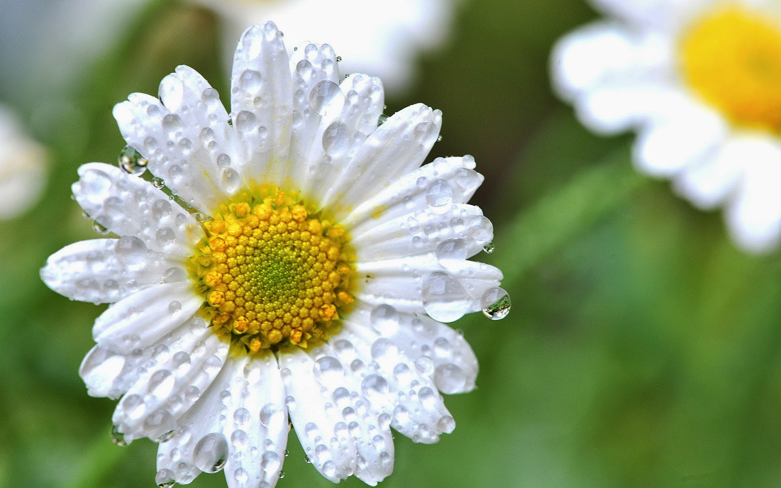 White-daisy-flower-closeup-photo.jpg