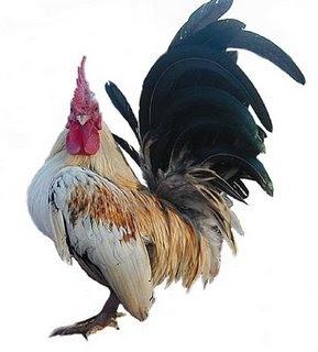 ciri ayam kate serama