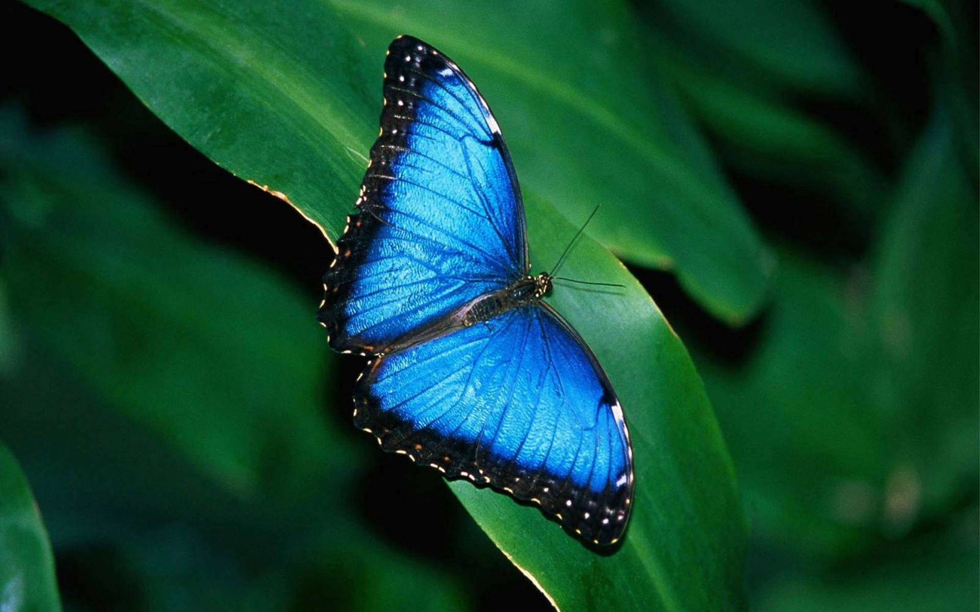 bluebutterflywallpaper.jpg