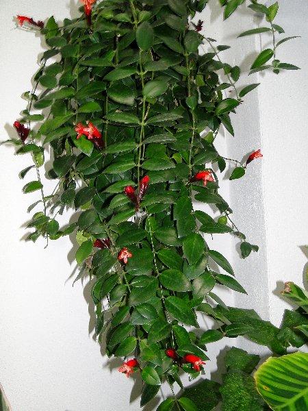 aeschynanthus lobbianus originarias del sur de asia estas plantas herbceas perennes pertenecen a la familia de las gesneriaceas - Plantas Colgantes Exterior