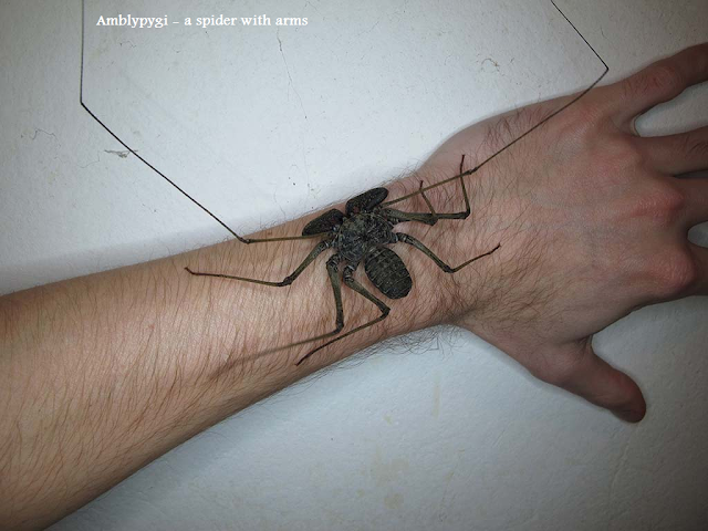 Amblypygi - a spider with arms