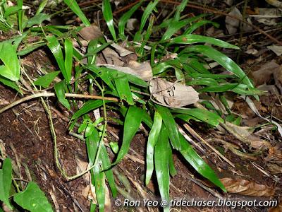 Tape Fern (Vittaria elongata)