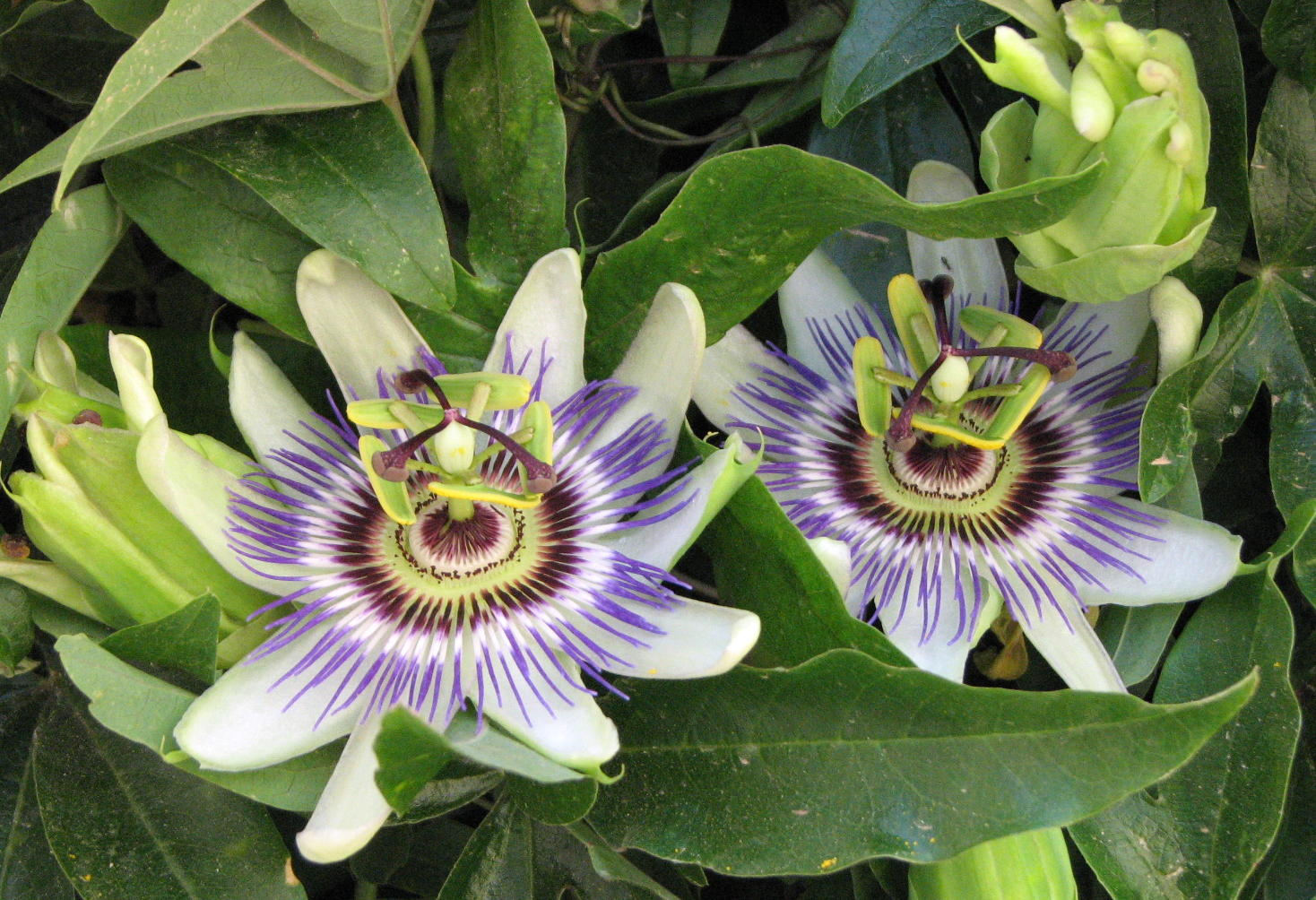 Father julians blog the passion flower the passion flower dhlflorist Images