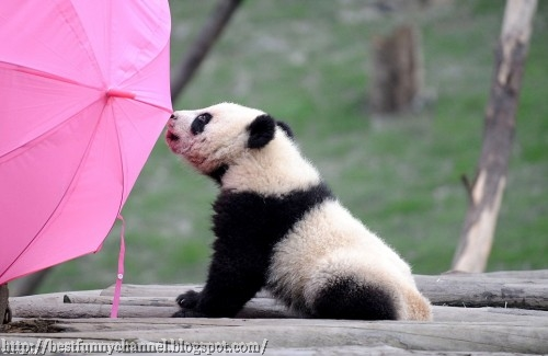 Baby panda and umbrella.