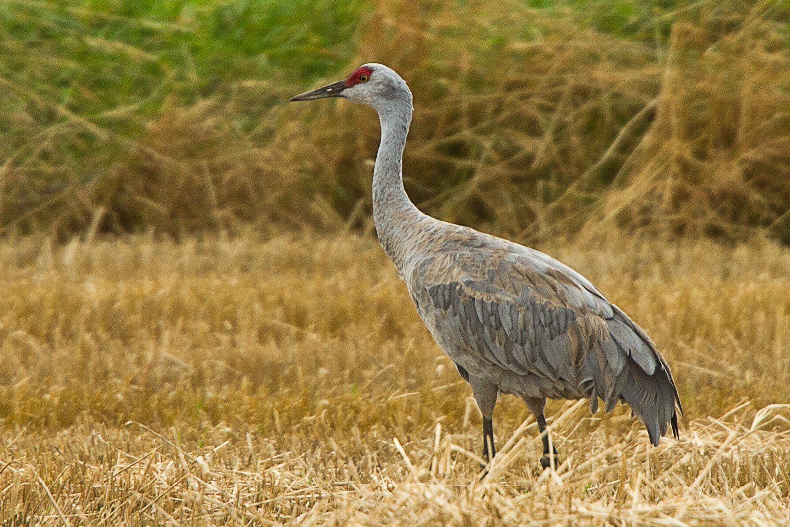 sand hill cranes The eastern population of sandhill cranes migrates through and winters in portions of tennessee and is considered the world's second largest sandhill crane population tennessee has wintered an average of over 23,000 cranes over the last five years.