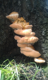 Oak Tree with Fungal Brackets