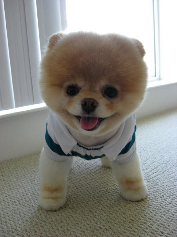 Cool Very Shapely Pom Japanese Style HaircutsDoggie Pets Grooms Style