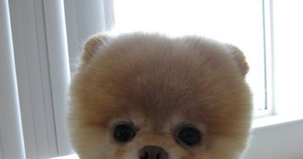 Amazing Stuffs Boo The Cutest Dog In The World