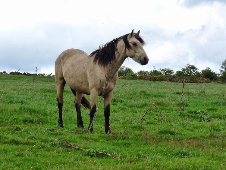 poney à vendre : BALADIN VARAGNAC