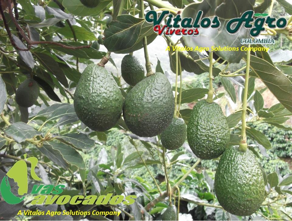 Viveros de aguacate hass y hass selecci n m ndez vitalos for Viveros forestales en colombia