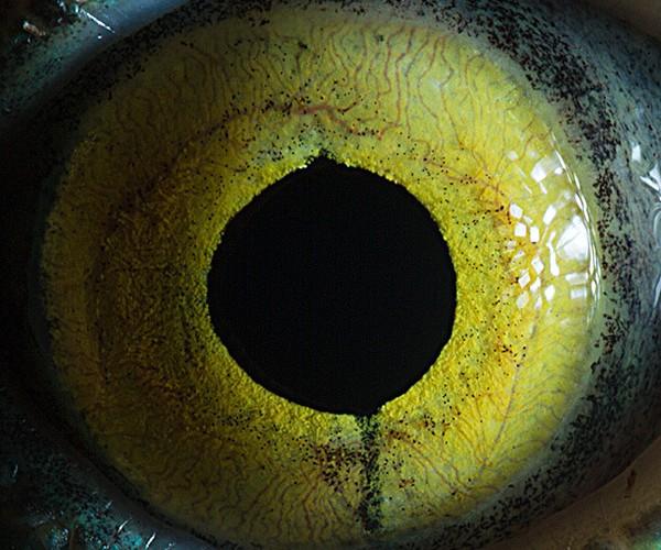 Macro-fotografía de ojos de animales