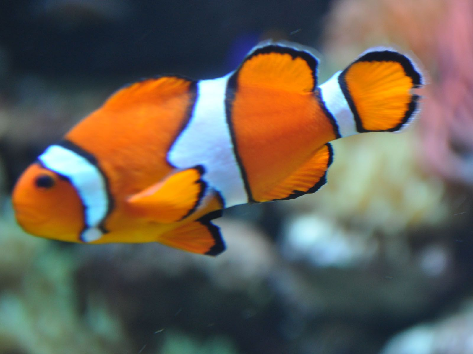 Fish popular clown fish for Blue clown fish