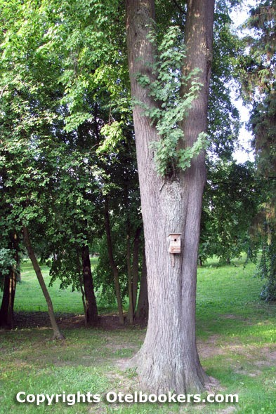 Linden Trees in the Loshica Estate - Belarus