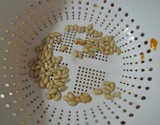 Squash Seeds in Colander