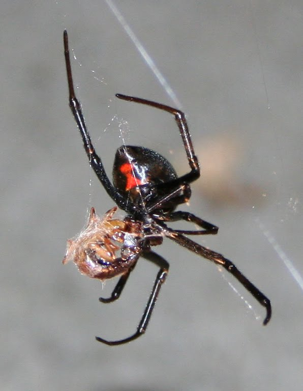 black widow spiders Q about a month ago i found a large black widow spider under the rim of a pot in  which i grow my sage i have never seen one so big she escaped into the.