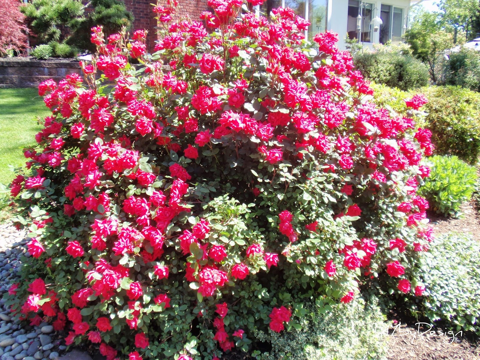 Diy by design tips and tricks to growing roses - Planting rose shrub step ...
