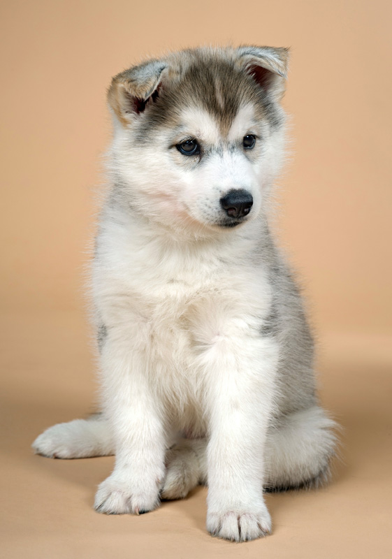 A very cute siberian husky puppy whose ears haven't stood up yet