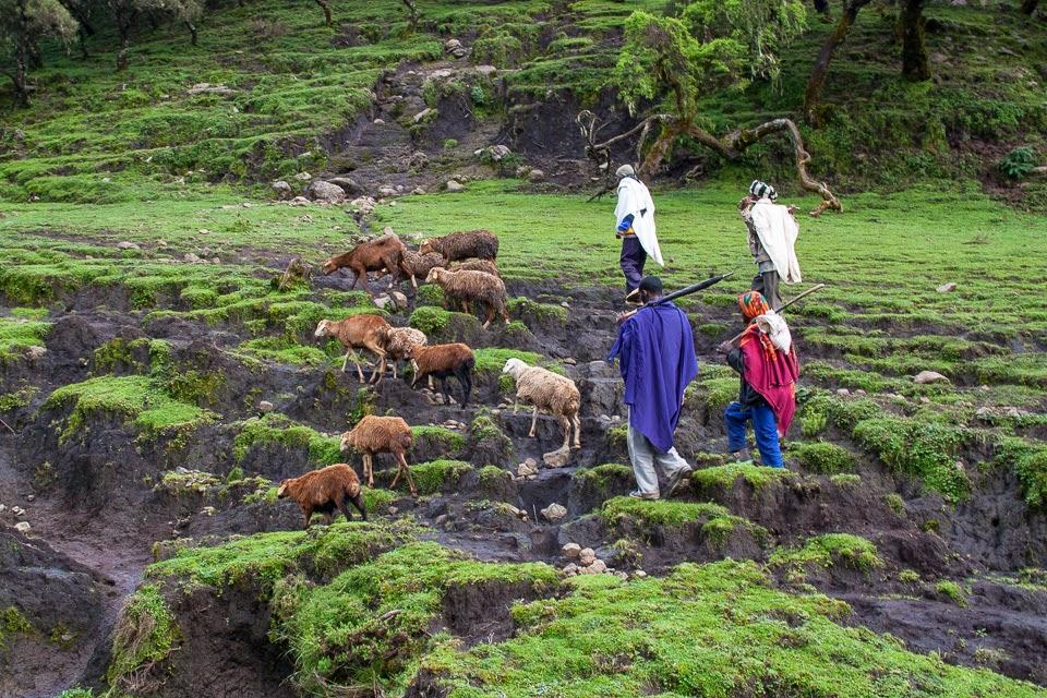 etióp juhászok