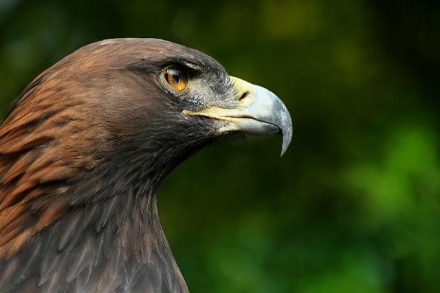 Aguila napoleon bonaparte
