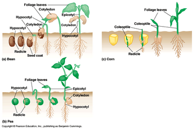Pengaruh Cahaya Matahari Terhadap Pertumbuhan Kacang Hijau