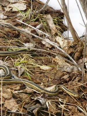 garter snake, Nolalu, ON