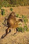 Macaco sentado no formigueiro