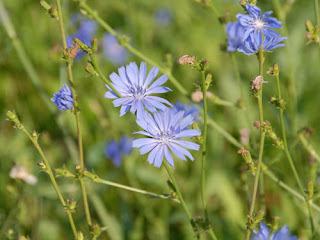 http://prepperherboftheweek.blogspot.com/2015/05/uses-for-chicory.html