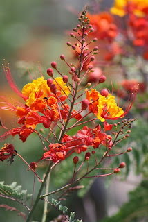 pride of barbados caesalpinia