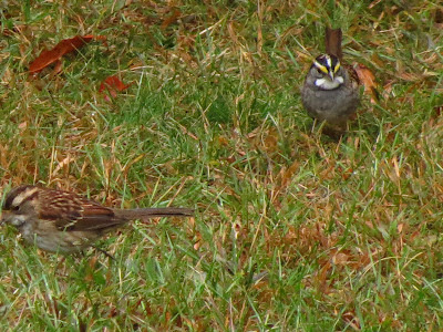 white throated sparrows look for seeds