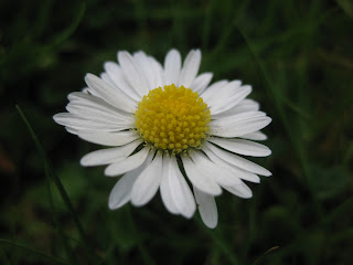 White summer daisy