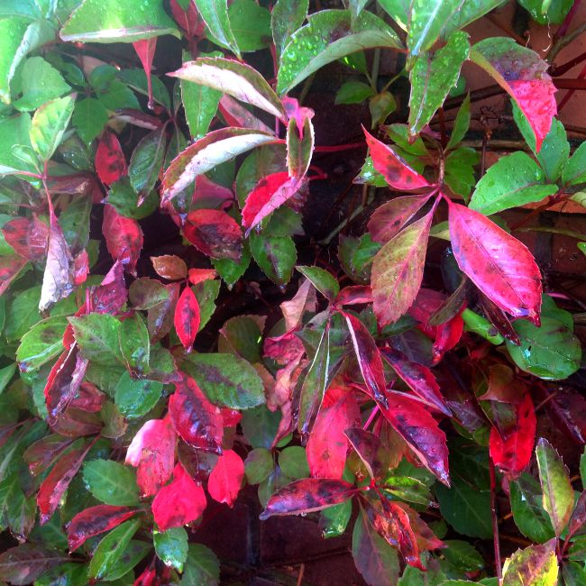 Green and very red leaves of Virginia Creeper