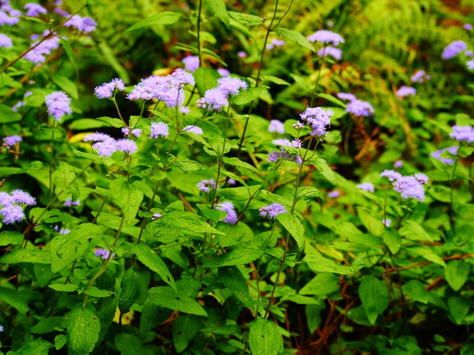 Gardens duke plant spotlight blue mistflower for Garden plants