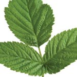 LEAF TEA SIDE EFFECTS – ARE THERE ANY?RASPBERRY LEAF TEA SIDE ...